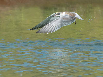 Photograph - Forster's Tern 5747-092217-2 by Tam Ryan