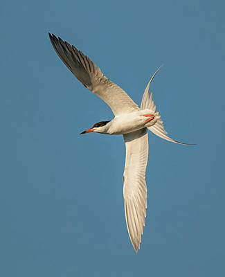 Photograph - Forster's Tern by Loree Johnson