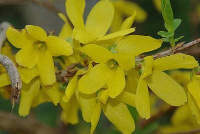 Photograph - Forsythia Blooms by Robyn Stacey