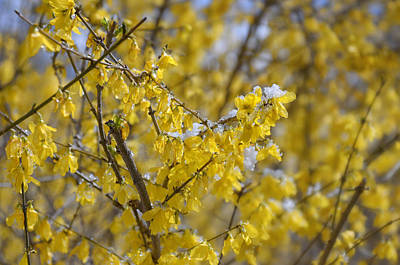 Photograph - Forsythia In Snow I by Marianne Campolongo