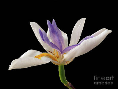 Fortnight Lily On Black Art Print