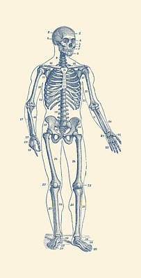 Stunning Human Skeleton Drawings | Fine Art America