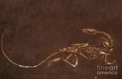 Photograph - Fossil Of Dinosaur Coelophysis Bauri by Gerard Lacz