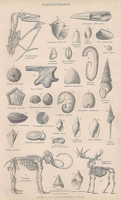 Fossils, Paleontology Print by Victorian Engraver