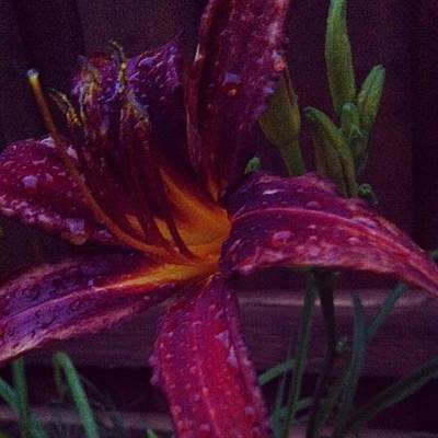 Lilies Photograph - The Scarlet Lily by Keely Prendergast