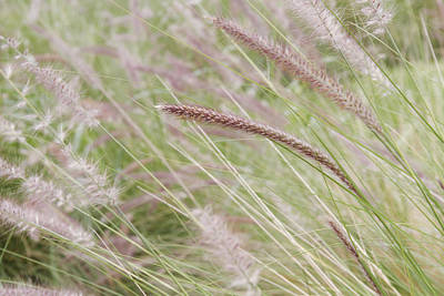 Photograph - Fountain Grass by Silvia Bruno