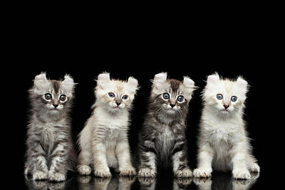 Black Cat Photograph - Four American Curl Kittens With Twisted Ears Isolated Black Background by Sergey Taran