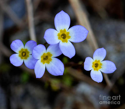 Photograph - Four Bluettes by Amy Porter
