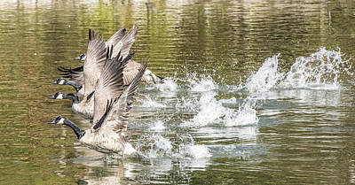 Photograph - Four Canada Geese Taking Off by William Bitman