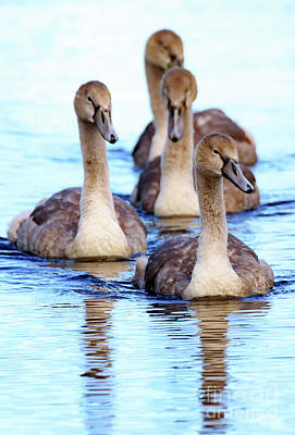 Photograph - Four Cygnets by Colin Rayner