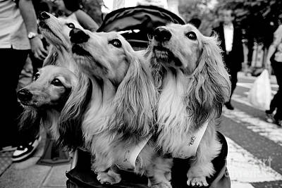 Four Dogs In A Stroller Art Print