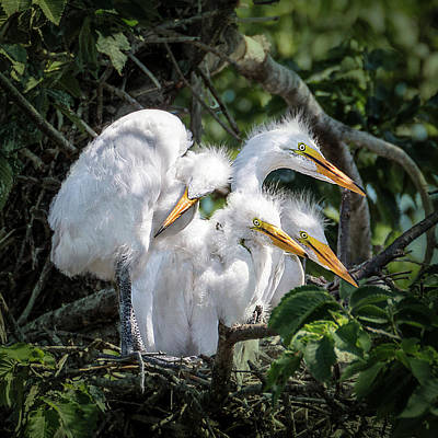 Photograph - Four Egret Chicks In Nest by Patti Deters
