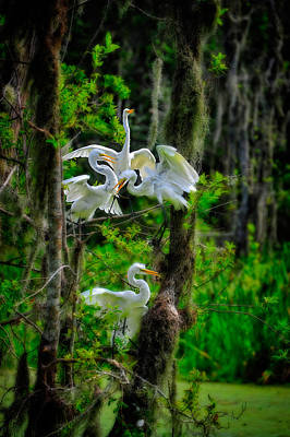 Photograph - Four Egrets In Tree by Harry Spitz