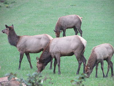 Photograph - Four Elk by Marilyn Diaz