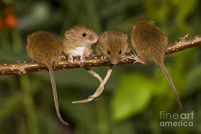 Mouse Photograph - Four Eurasian Harvest Mice by Jean-Louis Klein & Marie-Luce Hubert