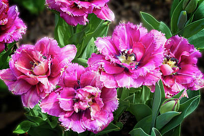 Photograph - Four Frilly Pink Tulips by Lynn Bauer