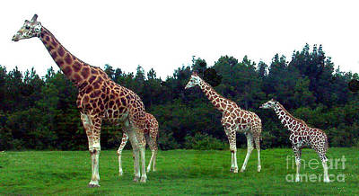 Photograph - Four Giraffes by Merton Allen