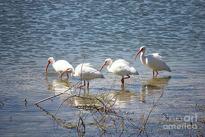 American White Ibis Photograph - Four Ibises Walking In Water by Carol Groenen