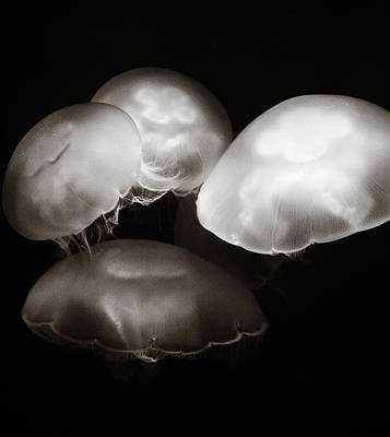 Photograph - Four Jellyfish by Marilyn Hunt