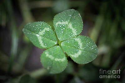Photograph - Four Leaf Clover by Giovanni Malfitano