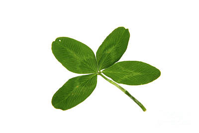 Four Leaf Clover Photograph - Four Leaf Clover by Photo Researchers