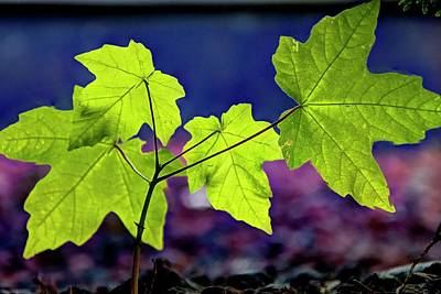 Jerry Sodorff Royalty-Free and Rights-Managed Images - Four Leaves by Jerry Sodorff