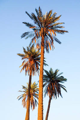 Photograph - Four Palms Over Baghdad by SR Green