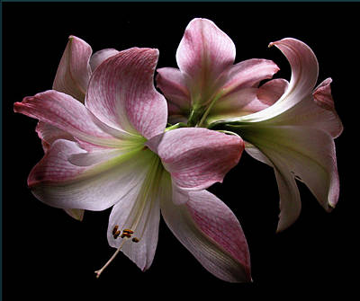 Photograph - Four Pink Amaryllis Blooms by Nancy Griswold