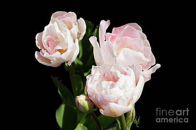 Photograph - Four Pink Tulips And A Bud On Black by Victoria Harrington