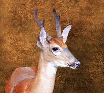 Photograph - Four Point Buck In Velvet by Joe Duket