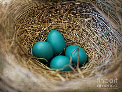 Photograph - Four Robin Eggs In Nest by Barbara McMahon