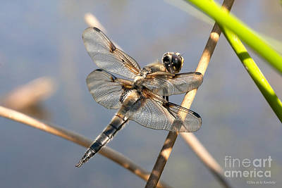 Libellule Photograph - Four Spotted Chaser by Don De la Rambelje