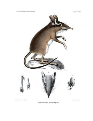 Drawing - Four-toed Elephant Shrew by J D L Franz Wagner