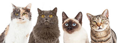 Four Various Breed Cat Closeups Art Print