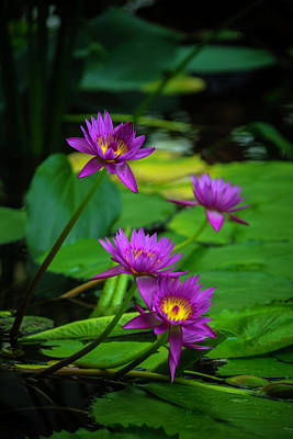 Waterlily Photograph - Four Waterlilies by Garry Gay