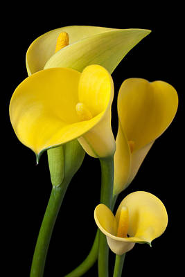 Fragile Photograph - Four Yellow Calla Lilies by Garry Gay