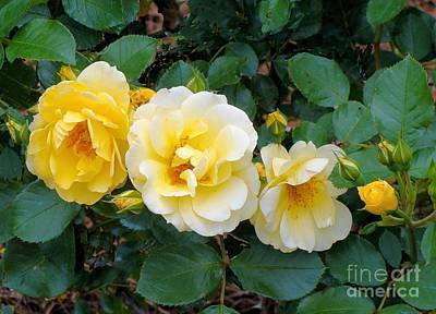 Photograph - Four Yellow Roses by Janette Boyd