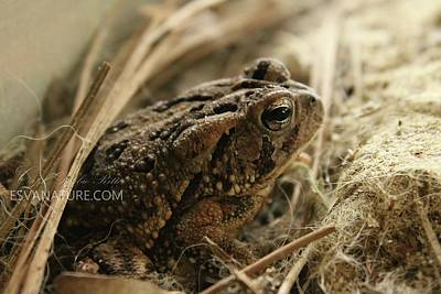 Photograph - Fowlers Toad 2 by Captain Debbie Ritter