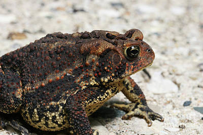 Photograph - Fowler's Toad #2 by Judy Whitton