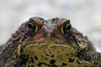 Fowler's Toad #3 Art Print