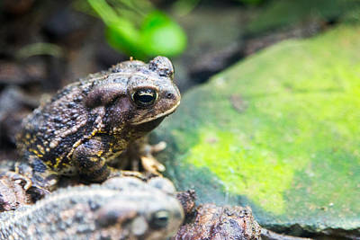 Photograph - Fowlers Toad by SR Green