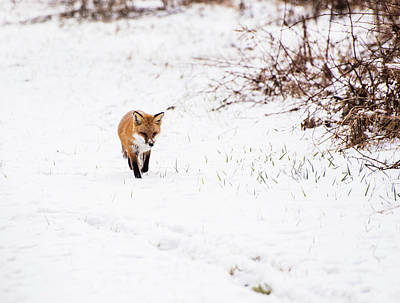 Photograph - Fox 2 by Paul Ross