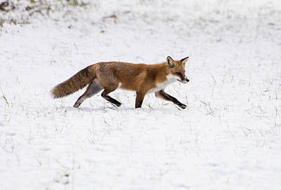 Photograph - Fox 3 by Paul Ross