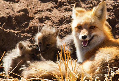 Photograph - Fox And Puppies by Steve Krull