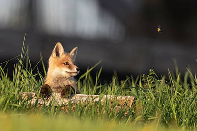 Photograph - Fox And The Bumblebee by Everet Regal