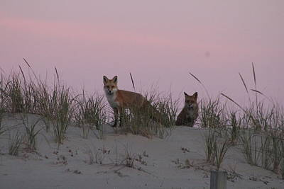 Photograph - Fox And Vixen by Robert Banach