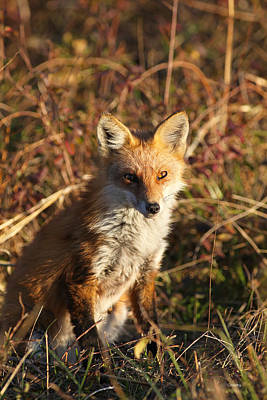 Photograph - Fox At Sunset by Robin Coventry