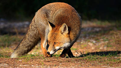 Photograph - Fox Attack by Edoardo Gobattoni