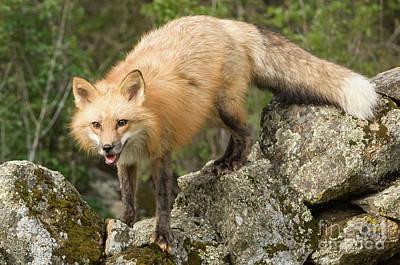 Photograph - Fox Climbing The Wall by Tibor Vari