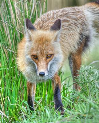 Photograph - Fox Closeup by CR  Courson